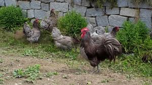 Hühnerschar mit Arnie