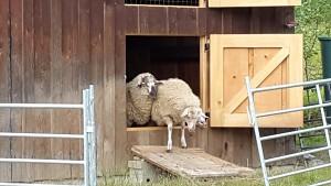 Schafe am Fenster 2
