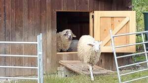 Schafe am Fenster 3