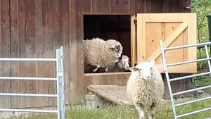 Schafe am Fenster 4