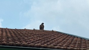 Wachvogel 1