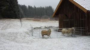 Es juckt unter der Wolle trotz minus ein Grad