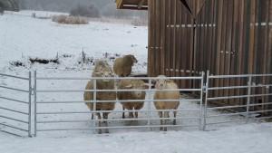 Da lag noch Schnee und die Schafe hatten eine klare Erwartungshaltung