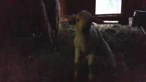 Lamm Nummer 2
