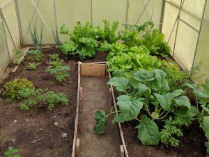 Salat konnte schon geerntet werden, Mizuna wächst wie verrückt und auch die Tomaten kommen