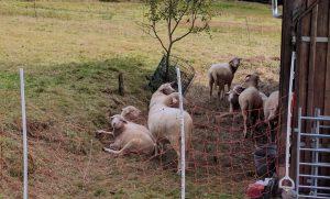 Schafe machen Pause