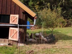 Schafe machen Pause 2