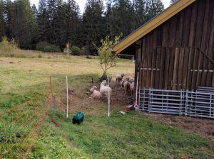 Schafe beim Chillen